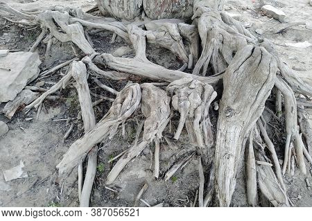 Tree Roots. This Is Cypress Taxodium Distichum At The Bottom Of A Dry Lake.