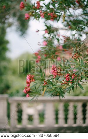 Oleander Sprigs With Flowers With A Shallow Depth Of Field Of Nature And A Stone Fence.