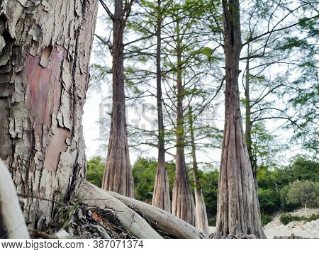 This Is Cypress Taxodium Distichum At The Bottom Of A Dry Lake. Tree Roots. Selective Focus.