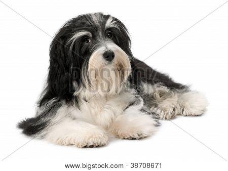 Cute Lying Bichon Havanese Puppy Dog