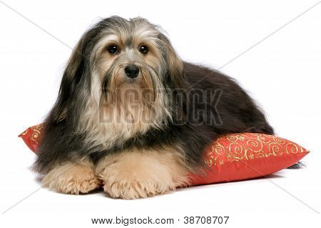 Cute tricolor Havanese dog is lying on a red xmas cushion. Isolated on a white background poster