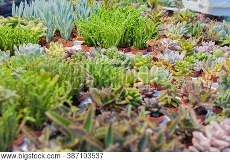 Mini Succulents Cactus In Desert Botanical Garden Background. Tropical Greenhouse Of Various Types O