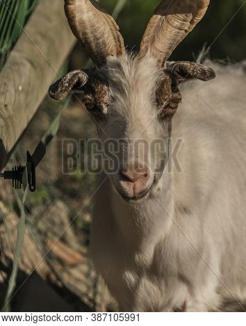 Capra Aeagrus Hircus Goat Animal In Summer Sunny Morning Near Fence