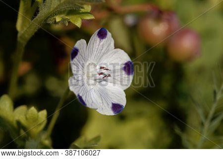 Flower Of A Fivespot, Nemophila Maculata