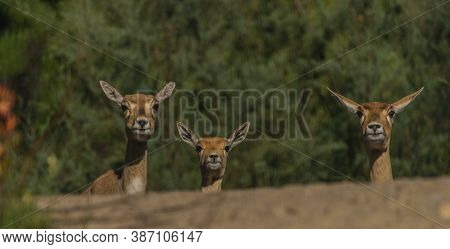 Antelope Animal On Stone With Color Leaf Forest On Background