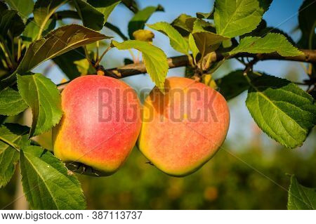 Beautiful Apple Trees In An Apple Orchard In Autumn, Selective Focus. Apples Closeup