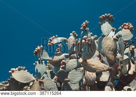 Natural Prickly Pear Cactus Aka Opuntia Ficus Indica Aka Fico D'india In Calabria