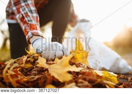 Male Volunteer Grabs A Pile Of Fallen Leaves And Puts Them Into A Garbage Bag In The Park. Man Weari