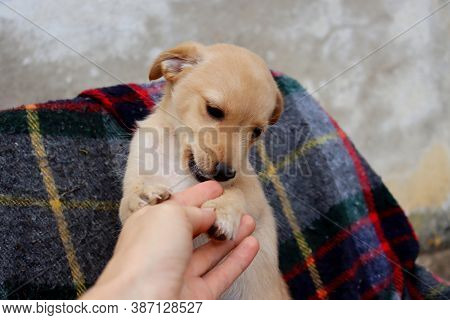 Portrait Of A Yellow Labrador Puppy On The Background Of A Checkered Plaid. Labrador Puppy Playing W