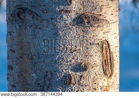 Aspen Bark Texture. Aspen Tree Bark Detailed Texture