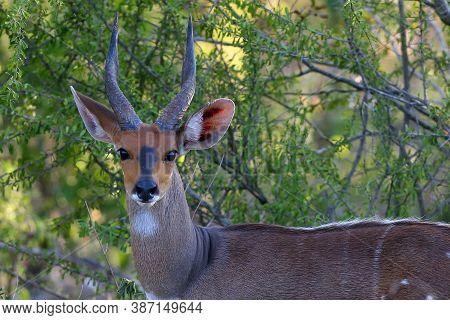 Bushbucks Or Imbabala (tragelaphus Sylvaticus) On The Bush.portrait Of A Forest Antelope And Beautif