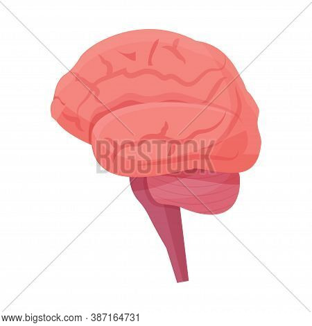 Human Brain, Organ Isolated On White Background. Detailed Mind System Stock Vector Illustration. Fro