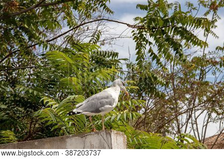 The European Herring Gull (larus Argentatus) On A Wall At Algarve Coast In Portugal. It Is The Most-