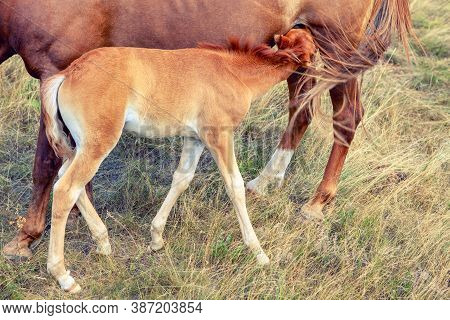 Foal Breasting . Mare And Young Colt On The Meadow