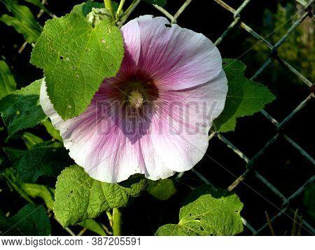 Purple Pastel Pink Hollyhock Fmallow Malva Flower At Garden Green Leaves Metal Fence In Background