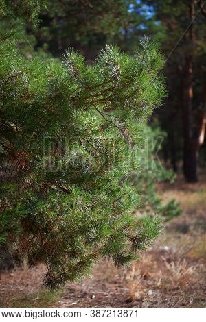 Edge Of The Coniferous Forest In The Steppe Zone Of Ukraine, Kherson Region, Summer Sunny Day