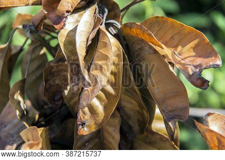 Brown Dry Leaves Of Mango Plant With Sunshine On Green Background. Dry Mango Leaves On The Sunlight.