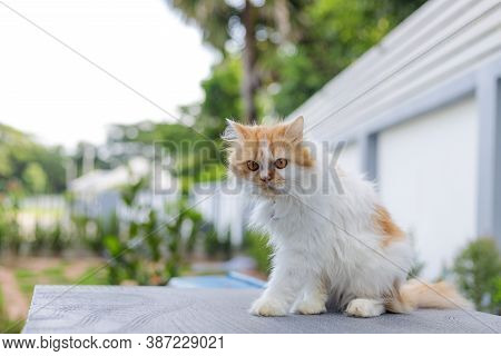The Cute Persian Cat Sitting On The Table  And Looking Something, Selective Focus Shallow Depth Of F