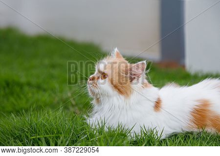 The Cute Persian Cat Is Sitting On A Grass Field, Selective Focus Shallow Depth Of Field