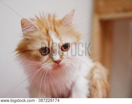 Close-up Shot Persian Kitten Sitting And Look, Select Focus Shallow Depth Of Field