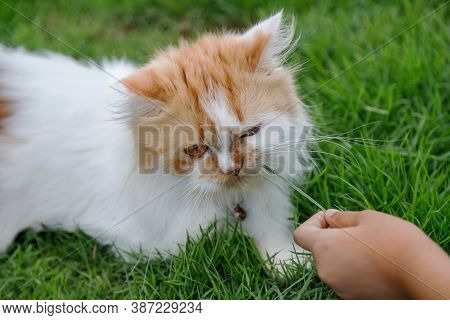 Hand Of Children Feeding Green Grass To The Persian Cat On A Grass Field, For Pet Herbal Natural Med
