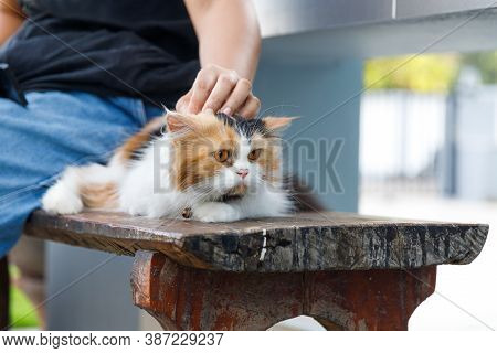 Hand Of Woman Touching On The Persian Cat Is Sitting On A Wooden Chair, Selective Focus Shallow Dept