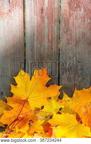 Lying Maple Leaves By The Fence. Wooden Fence, Golden Leaves. Autumn Leaf Fall Season. Seasonal Back