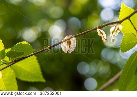 Twigs Of Elm With Young Green Carved Leaves And Seeds In Spring On A Blurred Background In A Park