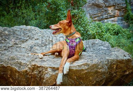 Brown Hound Dog Posing On Top Of A Stone