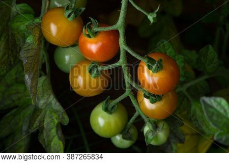 2 - Ripening Cherry Plum Tomatoes Growing Naturally On A Tomato Plant. Various Vibrant Colors As The
