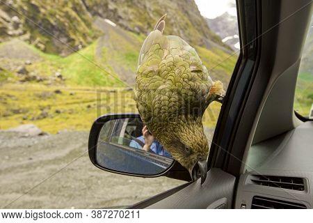Kea Parrot Breaks Down The Car South Island New Zealand
