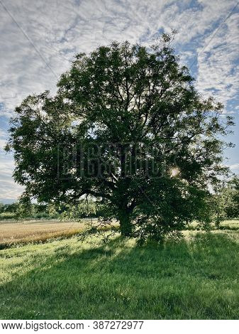 Majestic Tree (walnut) On A Green Grassy Meadow With The Shining Summer Sun Between The Branches. Th