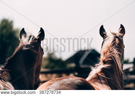 Two Beautiful Brown Stallions Close Up, Head View From Behind. Thoroughbred Horses, Horse Farm. Hors