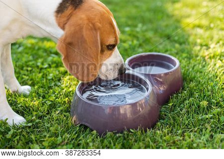 Beagle Dog Drinking Water To Cool Off In Shade On Grass Hiding From Summer Sun . Dog Themed Backgrou