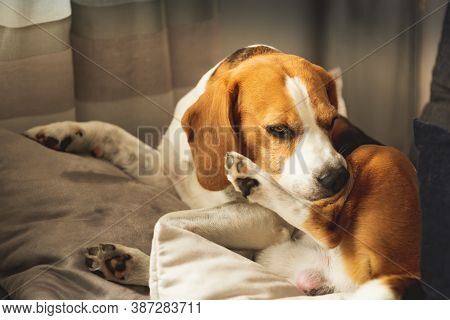 Beagle Dog Biting His Itching Skin On Legs. Skin Problem Allergy Reaction, Mosquito Bite Or Stress R