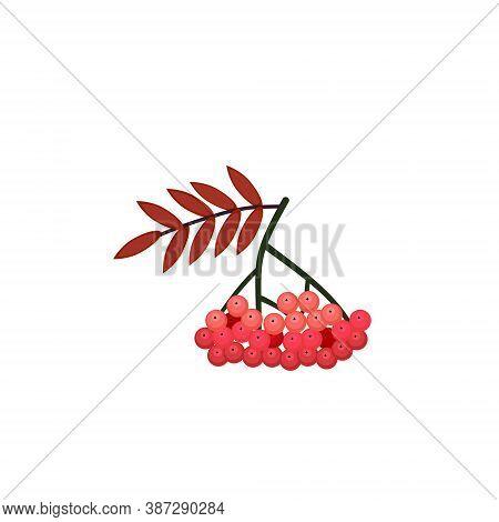 Rowan Berries. Isolated Rowan On White Background