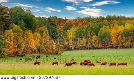 Grazing Cattle In Autumn In Wisconsin