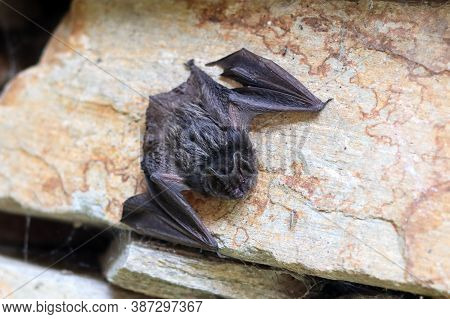 Bat - A Young Black Bat On The Stone In Daytime