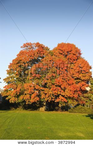 Maple Tree Changing Colors