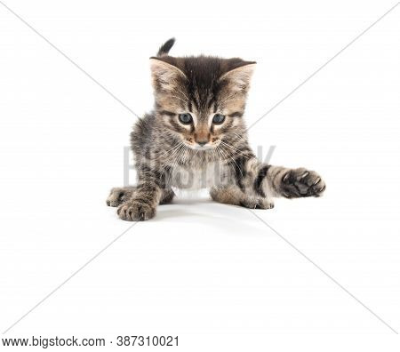Cute Baby Tabby Kitten Playing And Looking Down