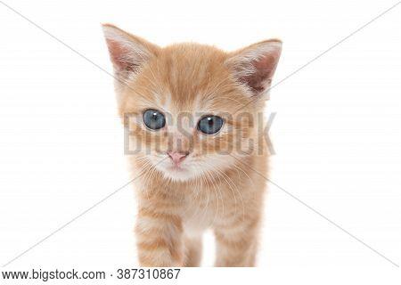 Cute Yellow Tabby Kitten On White