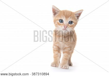 Cute Yellow Baby Tabby With Blue Eyes Looking Into Camera Isolated On White Background