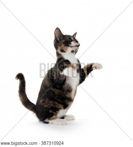 Tortoiseshell Kitten With Its Paws Up And Begging Isolated On White Background