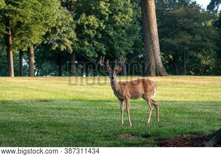 Portrait Of Large White-tailed Deer Buck With Velvet Antlers In An Open Meadow In Summer