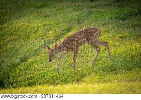 Cute White-tailed Deer Fawn In Morning Light In Summer