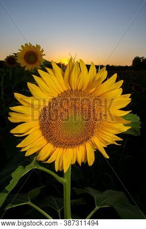 Sunflower In A Farm Field At Sunset In Summer In Rural Midwest United States.