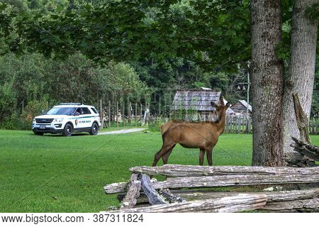 Gatlinburg, Tennessee, Usa - August 12, 2020: Large Female Elk Watching A Park Ranger At The Great S