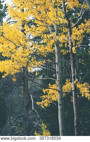 Quaking Yellow Aspen Tree Leaves In The Fall In Rocky Mountain National Park