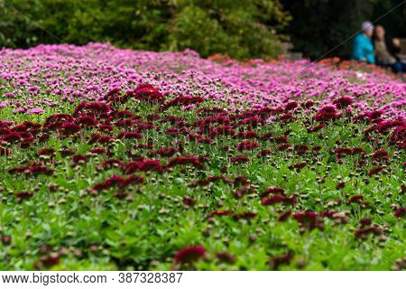 Colorful Chrysanthemums In The Garden. Alley Of Red And Pink Chrysanthemums. Beautiful Bright Autumn