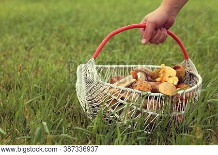Hand Mushroom Picker With A Wicker Basket Filled With Forest Delicacies. Mushroom Season